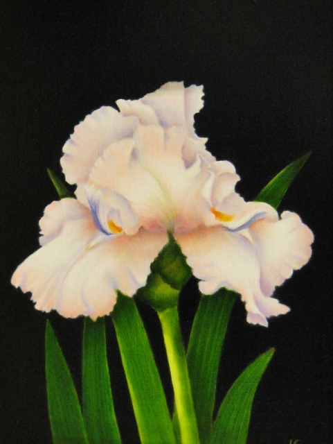 Williams_Bearded_Iris_12x9_Oil.jpg